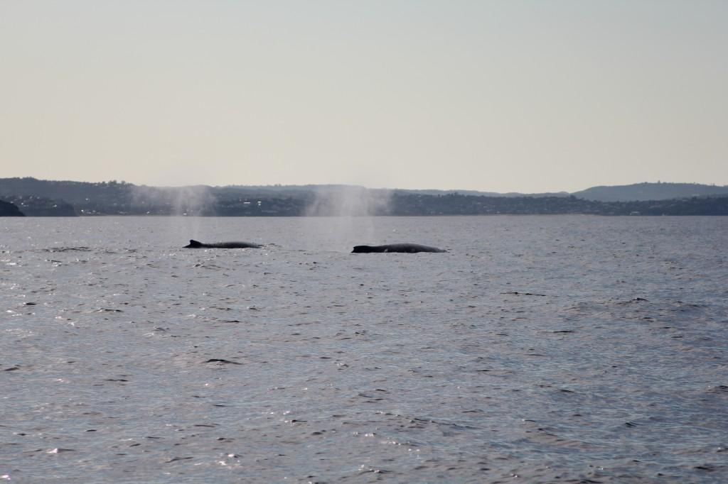 Walvissen voor de kust.