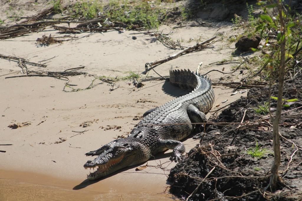 Krokodillen langs de bootroute.
